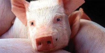 Cubed Pig Thumbnail