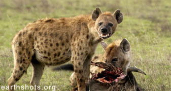 Snarling hyenas guarding their carrion meal ticket